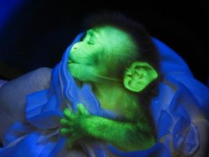 świecąca małpa